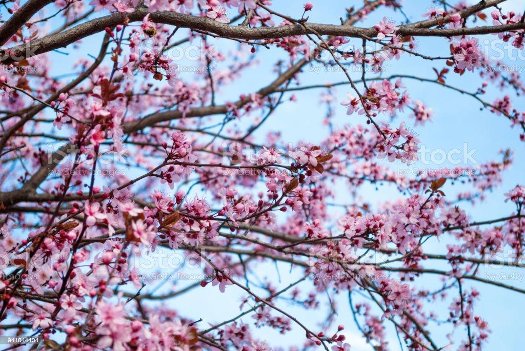 Beautiful full bloom pink cherry blossom sakura flowers stock photo beautiful full bloom pink cherry blossom sakura flowers royalty free stock photo mightylinksfo