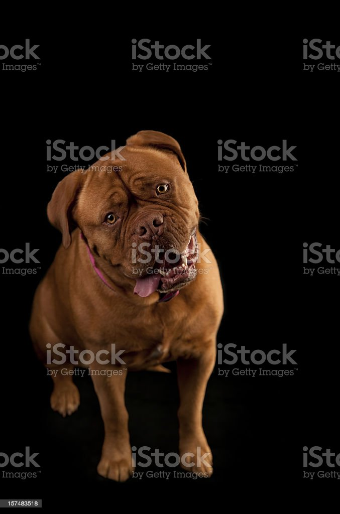 Beautiful Full Grown French Mastiff Dog with Tongue and Teeth royalty-free stock photo