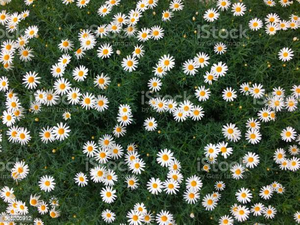 Photo of Beautiful fully bloomed daisy flower field background