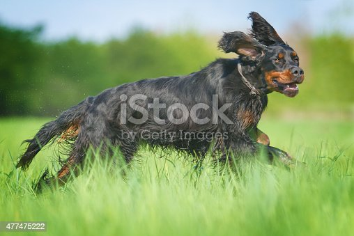 beautiful fun young gordon setter dog puppy running and hunting in summer background