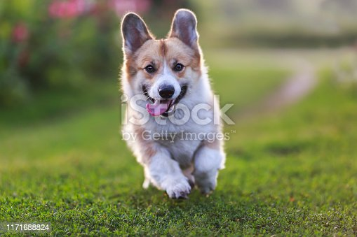 beautiful funny dog puppy ginger the Corgi runs merrily along the green meadow with his tongue sticking out and his paws held high