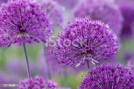 bright beautiful and fluffy flowers of a allium in a summer morning field