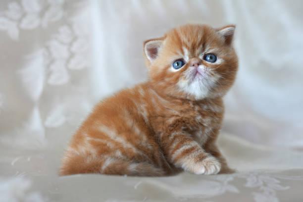 Beautiful funny red kitten breed exotic shorthair closeup design of picture id1180643151?b=1&k=6&m=1180643151&s=612x612&w=0&h=adzgx4axj9x4freommr49uiuqaedocxundujkio9pf8=