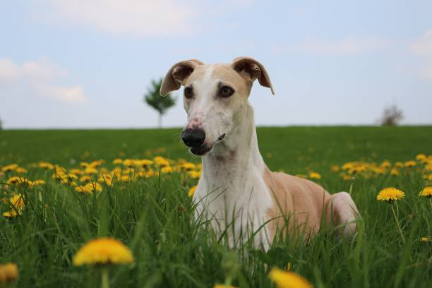 beautiful galgo is lying in a field of dandelions in the park galgo portrait in the garden whippet stock pictures, royalty-free photos & images