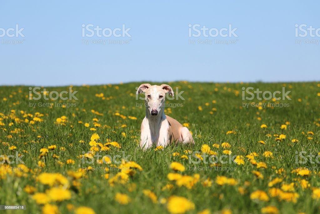 beautiful galgo portrait in the garden stock photo