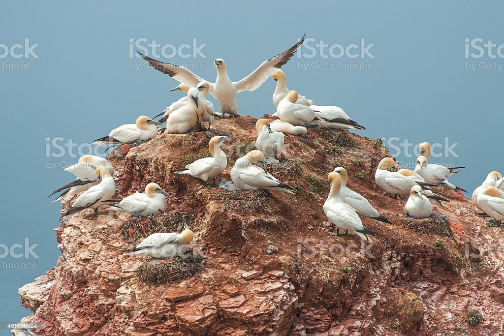 Beautiful gannets at the lonely island Helgoland in North Sea stock photo