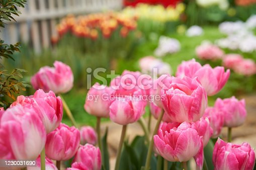 istock Beautiful garden background with tulips. Tulip flowers on spring background 1230031690