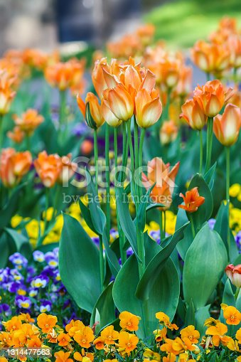 Beautiful garden flowers. Bright tulips blooming in spring park. Urban landscape with decorative plants close up.
