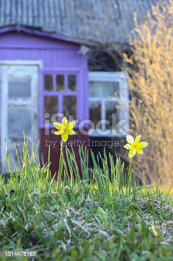 Beautiful garden flowers. Yellow daffodils or narcissus plants blooming on old country house building background.