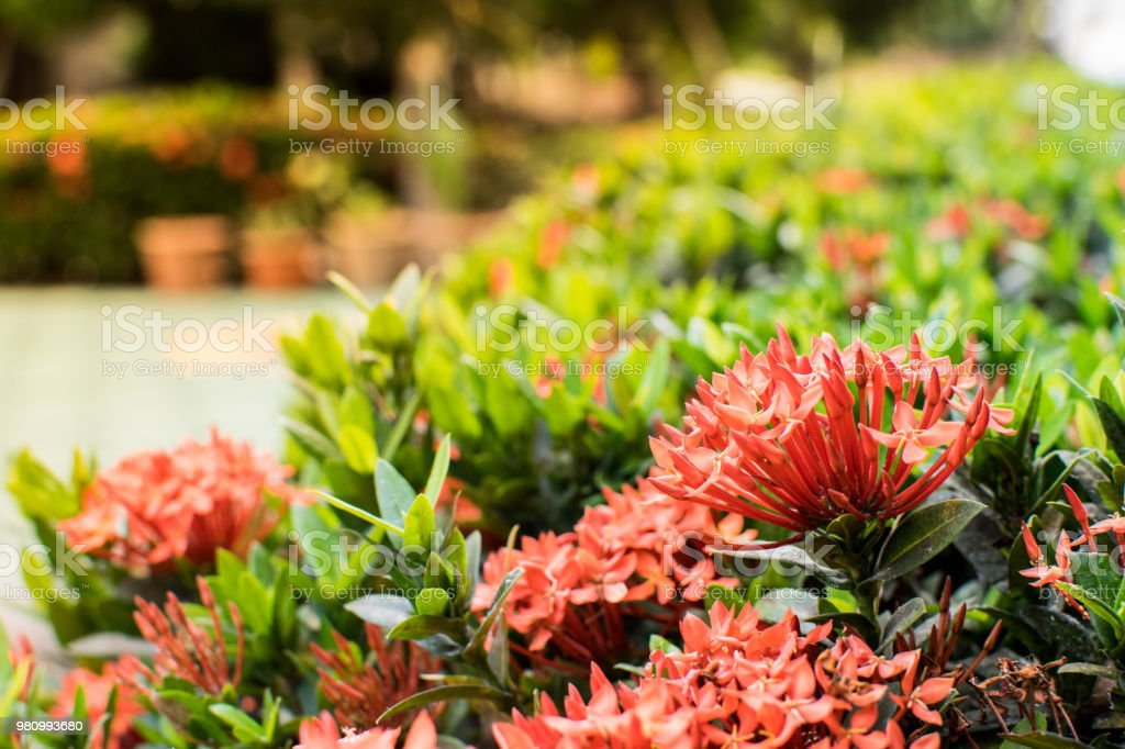 Beautiful Garden Flowers. In The Morning Sun Morning, Flowers, Background,  Spring,