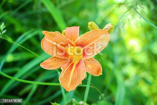 Beautiful garden orange lily flowers.