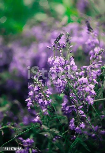 Purple wildflowers in summer park.