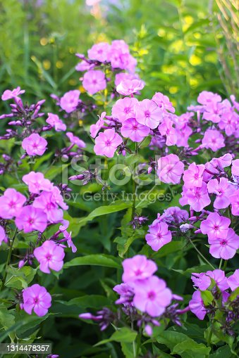 Beautiful garden flowers. Purple phloxes. Perennial decorative plants.