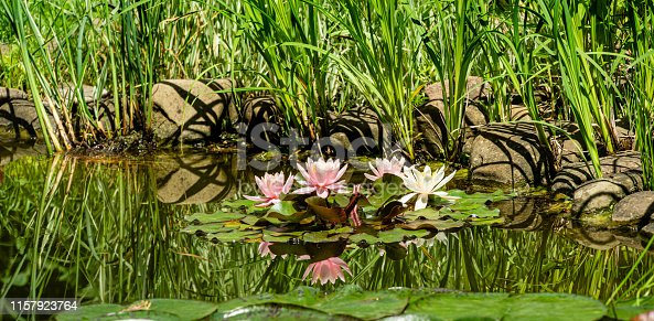Beautiful garden pond with amazing pink water lilies or lotus flowers Marliacea Rosea. Nympheas are bloom among leaves under tall sedge plants on shore. Selective focus. Nature concept for design