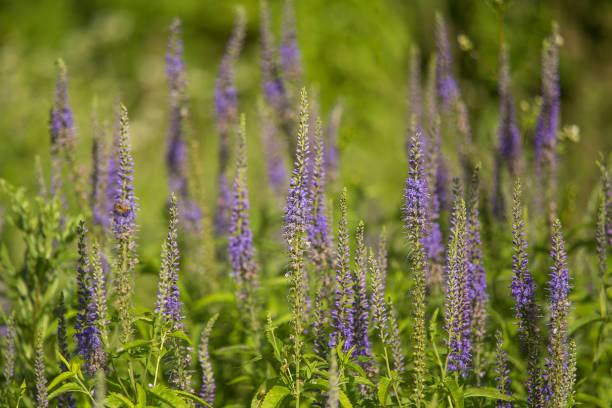 A beautiful garden speedwells blossoming in a summer meadow. stock photo