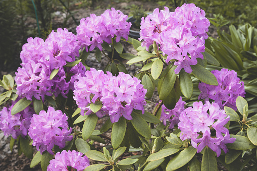 Beautiful garden with flowers rhododendron