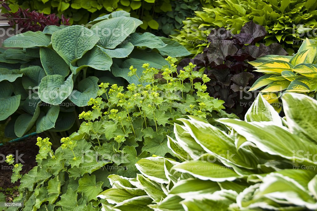 Beautiful garden with hostas and perennial plants stock photo
