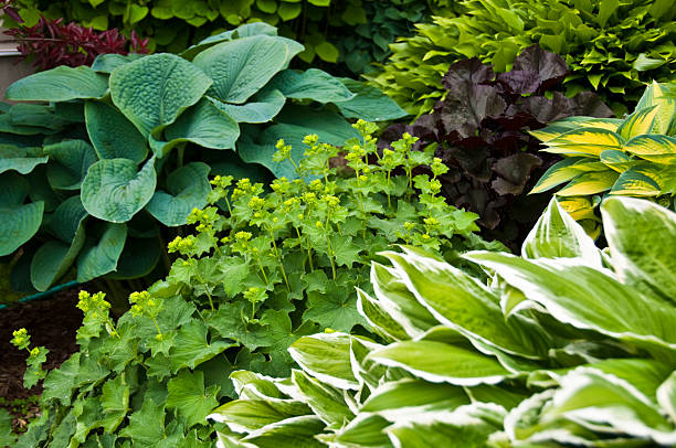 Beautiful garden with hostas and perennial plants  perennial stock pictures, royalty-free photos & images