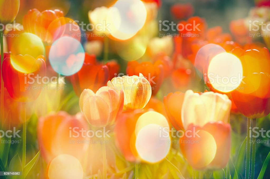 Beautiful garden with selective focus on colorful tulips stock photo