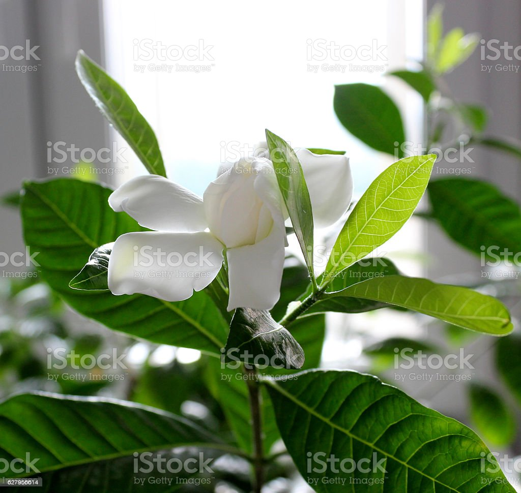 Beautiful Gardenia jasminoides flower in the room. Cultivating exotic...