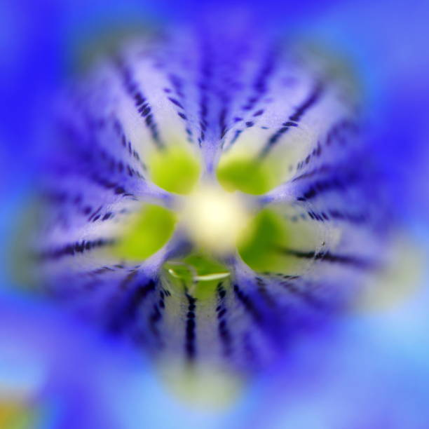 beautiful Gentiana Clusii flower stock photo