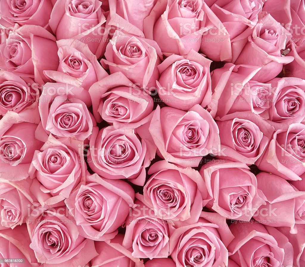 Beautiful Gentle Pink Roses Floral Background Stock Photo