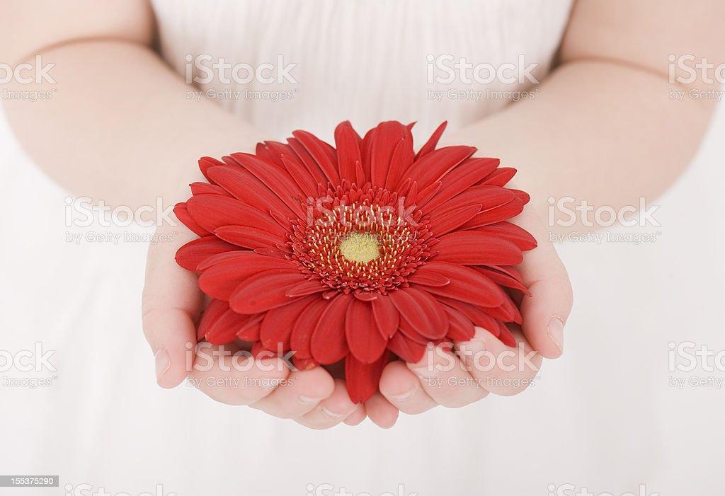 Beautiful Gerbera royalty-free stock photo