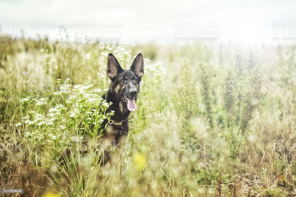 beautiful german shepherd dog puppy is waiting