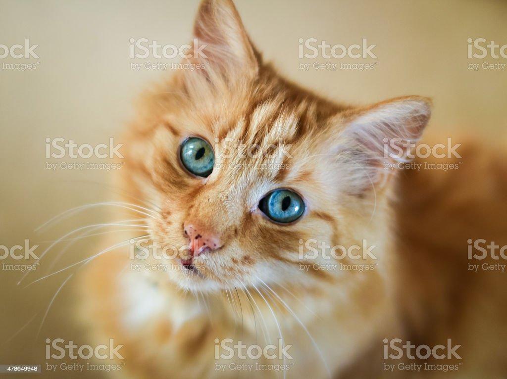Pręgowany Kot Piękny Rudy Z Kolczyki Niebieskie Oczy Stockowe