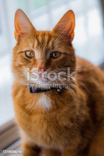 A portrait of an adorable young domestic ginger tabby cat sat at home on the back of a sofa against a window