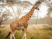 beautiful giraffe in africa on a safari