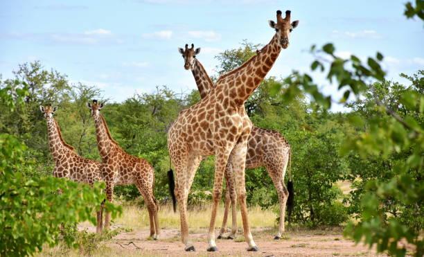 beautiful giraffes in african landscape stock photo