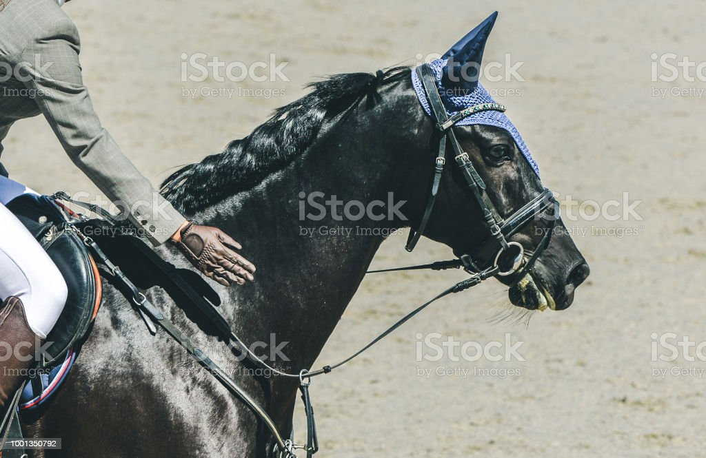 Horsewoman in uniform patting the horse in gratitude. Hot, shiny day.