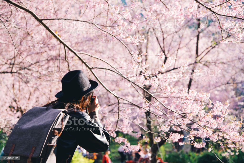 Beautiful girl traveler Sightseeing in Chiang Mai Thailand take a photo with Pink Cherry blossom stock photo