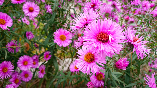 Beautiful glade with pink colors Symphyotrichum novae-angliae
