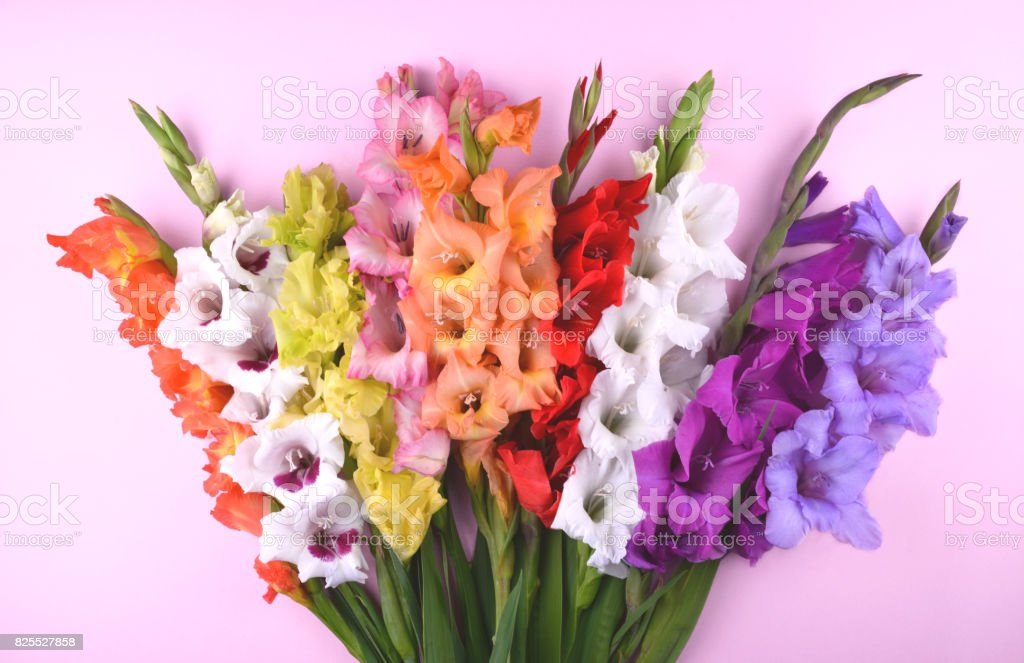 Beautiful gladiolus flowers on trendy pink background. stock photo