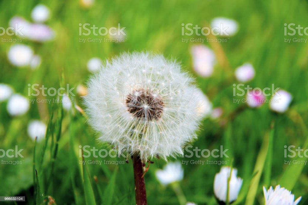 Beautiful globular dandelion seed head stock photo