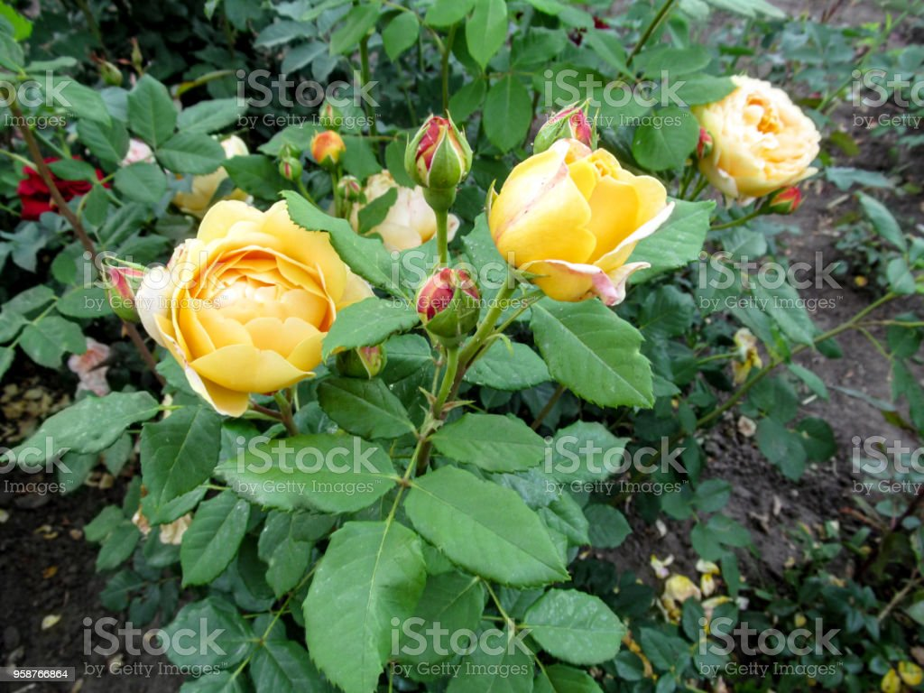 Beautiful globular flowers and pink buds of the yellow rose 'Golden Celebration' cultivar stock photo