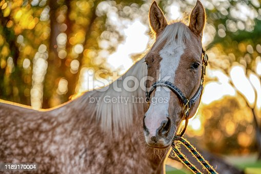 A beautiful Palomino horse posing gracefully for pictures before sunset