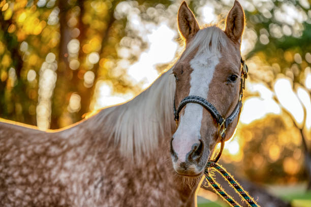 A Beautiful Gold And White Spotted Palomino Quarter Horse A beautiful Palomino horse posing gracefully for pictures before sunset palomino stock pictures, royalty-free photos & images