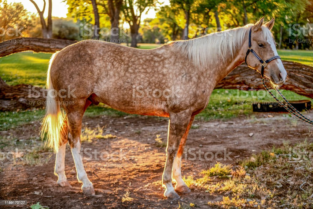 A Beautiful Gold And White Spotted Palomino Quarter Horse Stock Photo Download Image Now Istock