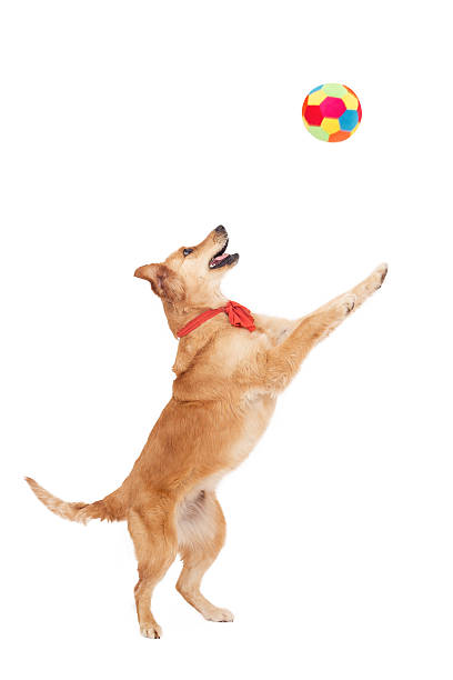 Beautiful golden dog play with ball on white background picture id512273950?b=1&k=6&m=512273950&s=612x612&w=0&h=c15zij7n1zn1tk8befr0raxnbl2fo2a0npwca6b0sck=