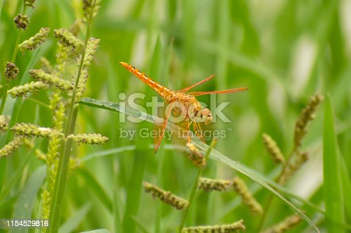 golden dragonfly sit on the green grass
