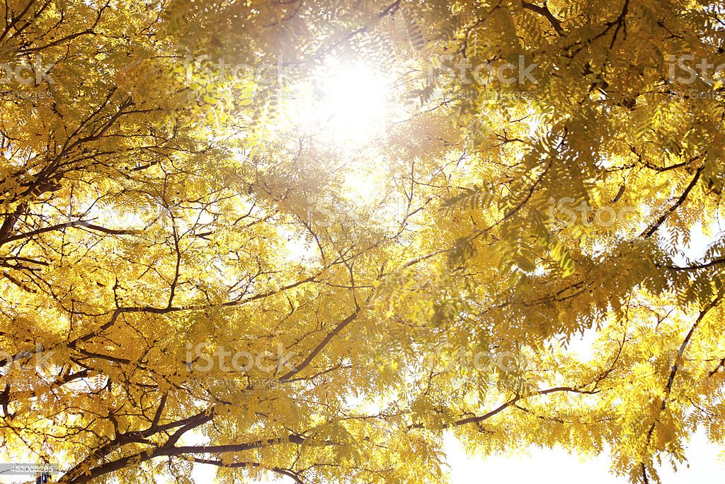 Beautiful golden leaves royalty-free stock photo