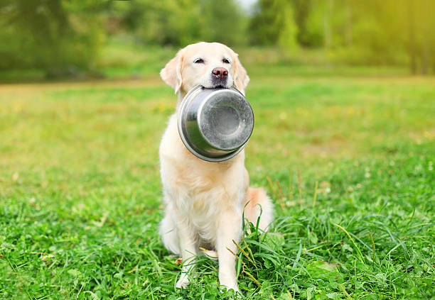 Beautiful Golden Retriever dog holding in teeth a bowl stock photo