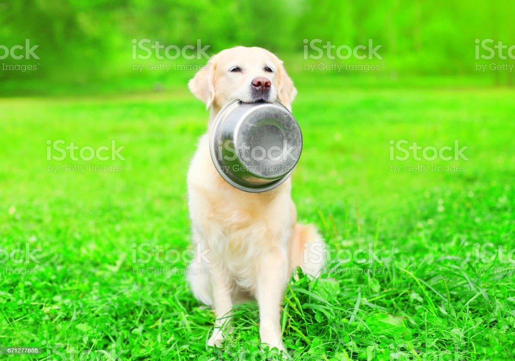 Beautiful Golden Retriever dog is holding in the teeth a bowl on the grass stock photo