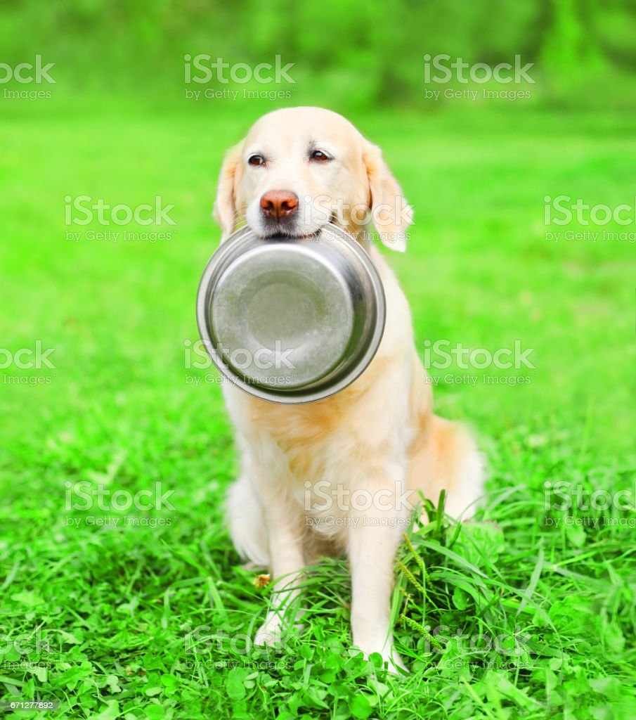 Beautiful Golden Retriever dog is holding in the teeth a bowl on the grass a summer park stock photo