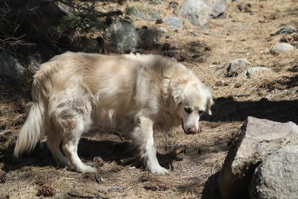 Schöner Golden Retriever: Gila National Forest – Foto