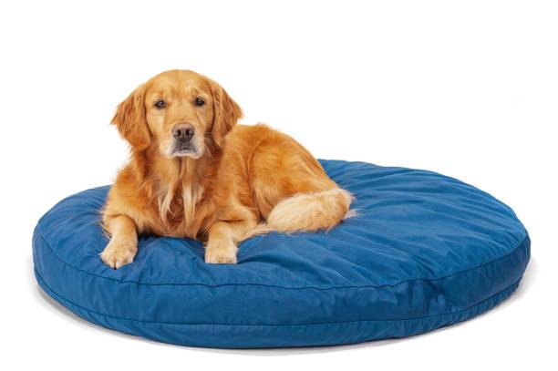 eine wunderschöne golden retriever liegend auf einem blauen hundebett auf weißem hintergrund - katzen kissen stock-fotos und bilder