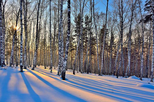 Wunderschönen goldenen Sonnenuntergang im Winter Birken Wald – Foto